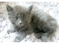 Gorgeous Persian x Maine Coon Kittens