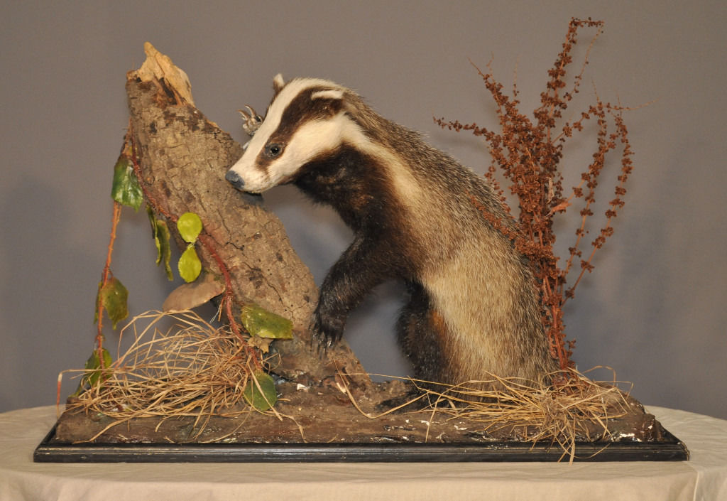 Attractive Antique Victorian Taxidermy Mounted Badger On Woodland Scene Plinth