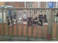 Six American bull kita pups