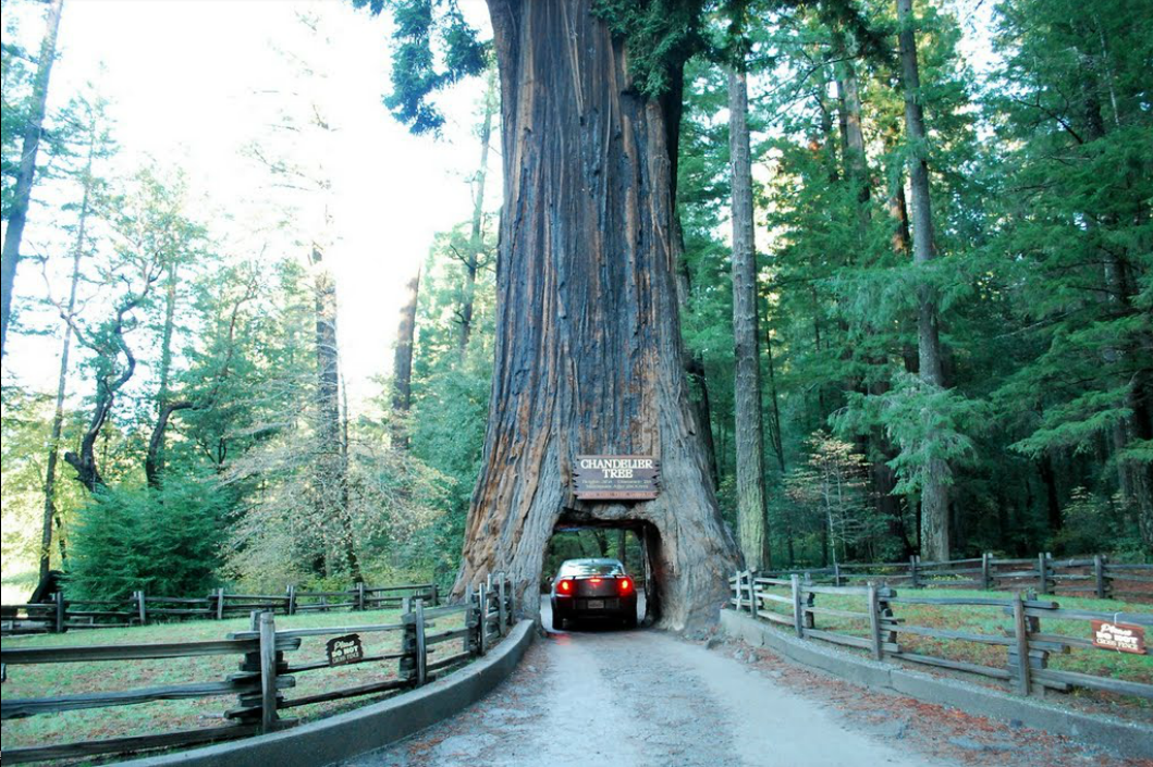 Redwood Forest  In Willits, Mendocino County