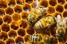 Bee course Saturday am! Honey bee training SATURDAY!! Mona Vale Pittwater Area Preview