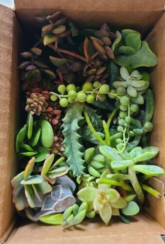 25 Varieties of Assorted Succulent Plant Cuttings