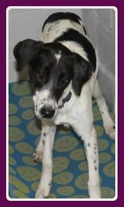 """Available for adoption Young Pointer Mix """"Jill"""""""