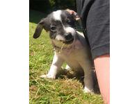 Jack Russle BITCH Puppy