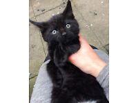 Healthy Male Black Kitten