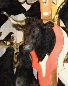troph e tete de vache de course landaise naturalis e. Black Bedroom Furniture Sets. Home Design Ideas
