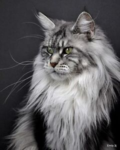WANTED! MAINE COON in search of