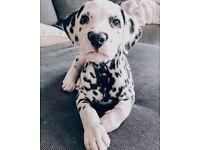 Looking to adopt Dalmatian Girl