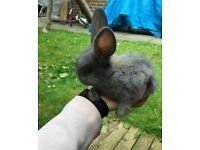 Cute Rabbit 8 Week
