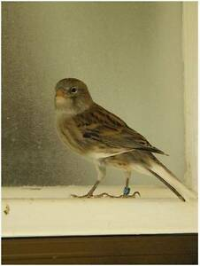 FEMALE CANARIES READY TO BREED Cooma Cooma-Monaro Area Preview
