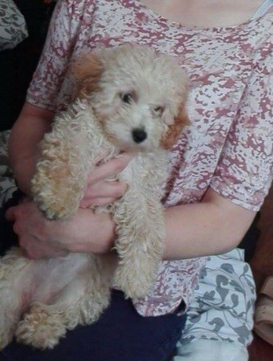 Cavapoo puppy female 6 months old