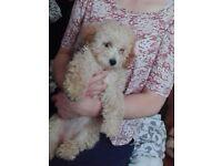 Cavapoo puppy 3 months