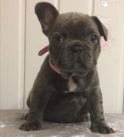 French bulldog girl pet home please