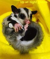 ADOPTED Female sugar glider joey