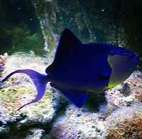 Black trigger fish saltwater