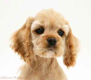 Looking for A Small Breed Spaniel Puppy.