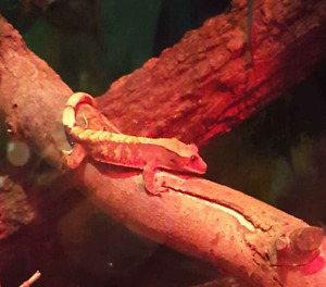 Juvenille male gecko for sale
