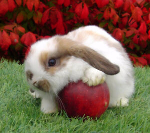 3 Very Cute Holland Lop Baby Bunnies! (ready to go)