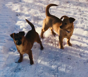 Chihuahua   Adopt Dogs & Puppies Locally in British Columbia