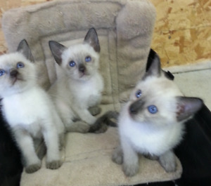 Purebred Siamese kittens ready for homes!
