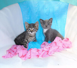 Cuddly Russian Blue x Tabby kittens ready to go to new homes