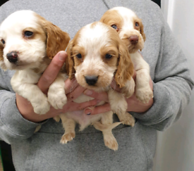 Cockle spaniels
