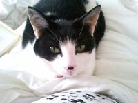 Missing black and white cat with black dot on nose no collar