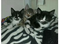 3 x cute playful kittens *READY TO LEAVE NOW *
