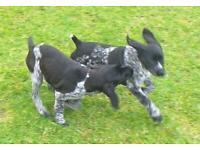 German pointer puppy