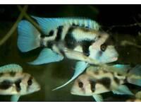 Rare Tanganyikan Fishes