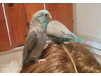 Celestial parrotlet (male) for sale to good home.