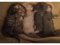 5 X full pedigree kittens for sale 3 boys and 2 girls