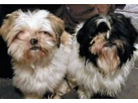 Urgently need a new family ,two shih Tzu's 1 boy 1 girl .