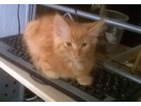 Ginger fluffy male kitten looks for a new home