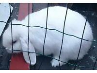 Missing. White rabbit. May be injured