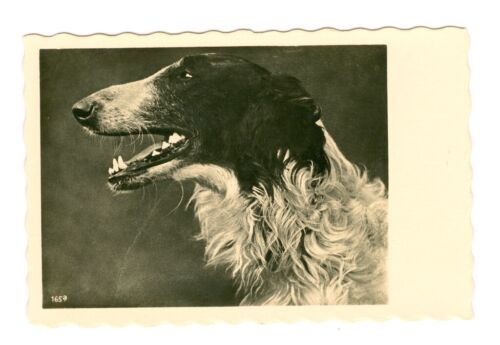 Vintage Borzoi Dog Postcard from 1940s or 50s Germany Blank Back