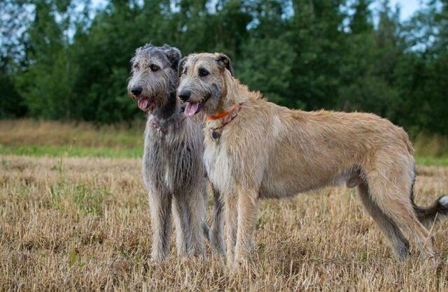 Wanted Purebred Irish Wolfhound Puppy