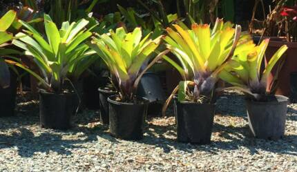 ALCANTEREA - QUALITY PLANTS ON SALE FROM THE NURSERY