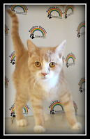 """FRIENDLY """"HUCK""""  -- 5 month old FIXED KITTEN  -- @ Small Things"""