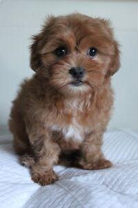 Beautiful Maltese cross Poodle (maltipoo) female puppy