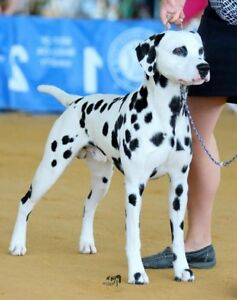 Dalmatian Adopt Dogs Puppies Locally In Ontario Kijiji Classifieds