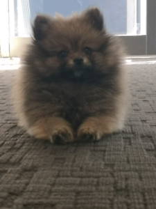 Pomeranian Female fawn puppy teacup 8 weeks **Full Pedigree**