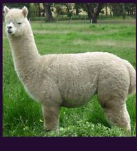2 registered pregnant friendly female alpacas free delivery Churchable Lockyer Valley Preview
