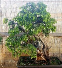 Specimen Huge Exhibition Quality Yamadori juniperus Communist