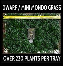 Trays of Dwarf / Mini Mondo Grass – 220+ Fully Established Plants Killara Ku-ring-gai Area Preview