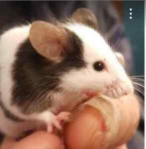 Lady Mouse seeks non-allergic owner Bonner Gungahlin Area Preview