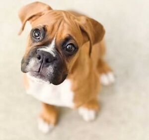 WANTED  Boxer Puppy! Canning Vale Canning Area Preview