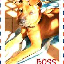 Beautiful Red American staffy x English staffy Belmont Lake Macquarie Area Preview