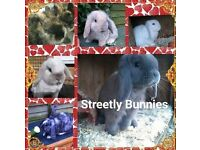 Mini lops , harliquin , lion lops bunnies