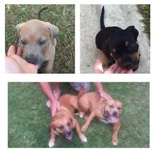 Staffy x pups Caboolture Caboolture Area Preview